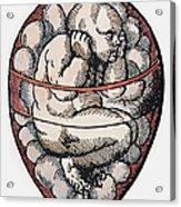 Human Fetus, 16th Century Acrylic Print