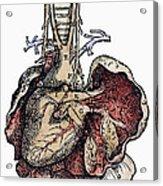 Human Heart, 1543 Acrylic Print