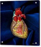 Human Heart On Blue Velvet Acrylic Print