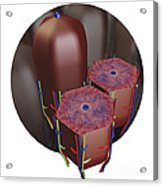 Human Liver Lobules, Cross-section Acrylic Print