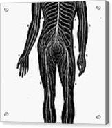 Human Nervous System Acrylic Print