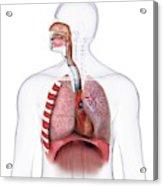 Human Respiratory Anatomy Acrylic Print
