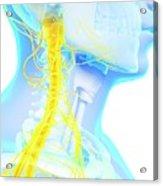 Human Spinal Cord Acrylic Print