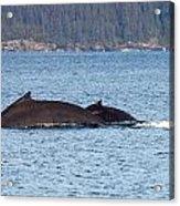 Humback Whale and Calf Acrylic Print