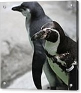 Humboldt Penguins Acrylic Print
