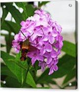 Humingbird Moth Acrylic Print