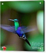 Humminbird In Flight   Acrylic Print
