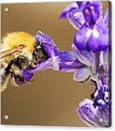 Humming Bee  Acrylic Print