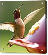 Humming Bird 2 Acrylic Print