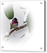 Humming Bird And Snow 2 Acrylic Print