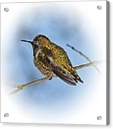 Humming Bird And Snow 3 Acrylic Print