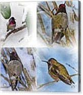 Humming Bird And Snow 4 Pack Acrylic Print