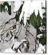 Humming Bird And Snow Acrylic Print