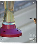 Humming Bird Approaching Acrylic Print