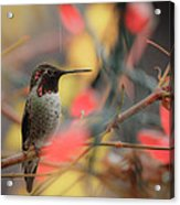 Humming Bird Christmas Acrylic Print