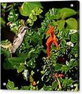 Humming Bird Honeysuckle Acrylic Print
