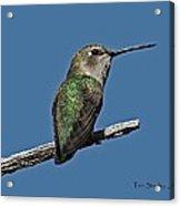Humming Bird On A Stick Acrylic Print