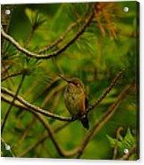 Humming Birds Perched  Acrylic Print