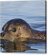 Humming Harbor Seal Acrylic Print