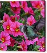 Hummingbird 3219 Acrylic Print