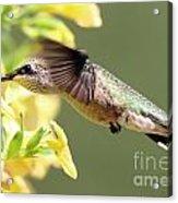 Hummingbird 3725 Acrylic Print