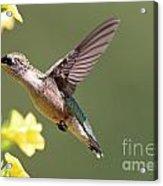 Hummingbird 3731 Acrylic Print