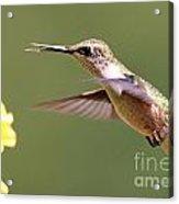 Hummingbird 3733 Acrylic Print