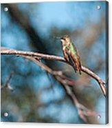 Hummingbird 4 Acrylic Print