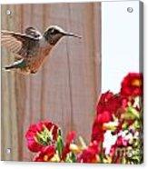 Hummingbird 4533 Acrylic Print
