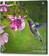 Hummingbird And Fuschia Acrylic Print