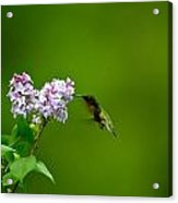 Hummingbird And Lilac Acrylic Print