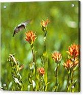 Hummingbird And Paintbrush Flower Acrylic Print