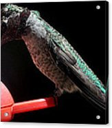 Hummingbird Anna's Eating On Perch Acrylic Print