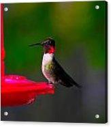 Hummingbird Art 227 Acrylic Print