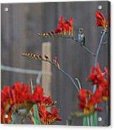 Hummingbird At Rest Acrylic Print