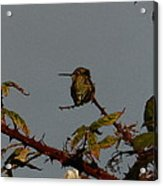 Hummingbird Atop Blackberry Bushes Acrylic Print