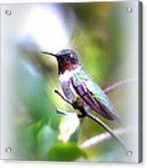 Hummingbird - Beautiful Acrylic Print