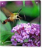 Hummingbird Clearwing Moth Acrylic Print