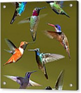 Hummingbird Collage Acrylic Print