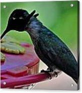 Hummingbird Costa's At The Feeder Acrylic Print