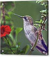 Hummingbird Delight Acrylic Print