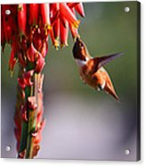 Hummingbird Feast  Acrylic Print