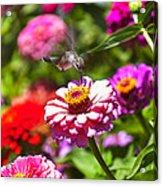 Hummingbird Flight Acrylic Print by Garry Gay