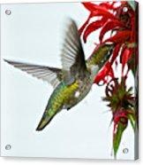 Hummingbird Focused On The Scarlet Bee Balm Acrylic Print