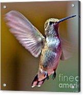 Hummingbird Frolic Acrylic Print