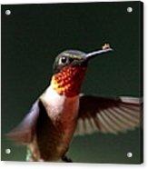 Hummingbird - Hitching A Ride - Ruby-throated Hummingbird Acrylic Print