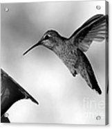 Hummingbird In Black And White Acrylic Print