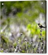 Hummingbird In Green Acrylic Print
