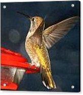 Hummingbird In My Window Acrylic Print
