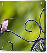 Hummingbird In The Rain Acrylic Print